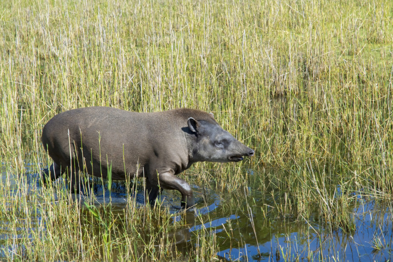 tapir walking through a marshy area