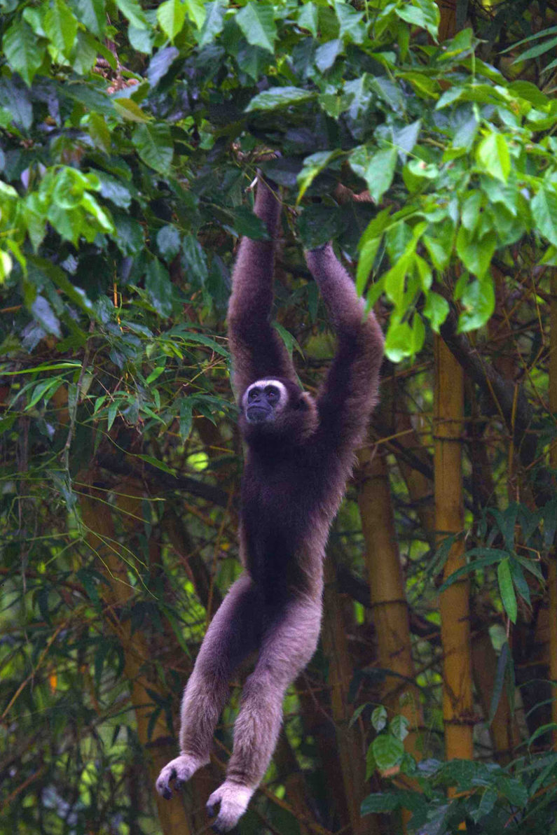 Bornean gibbon
