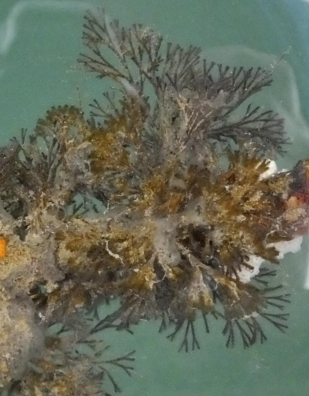 Spiral-tufted bryozoan (Bugula neritina)