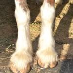Horse-feet-2