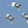 whooper swans in flight / Gertjan Hooijer/Shutterstock