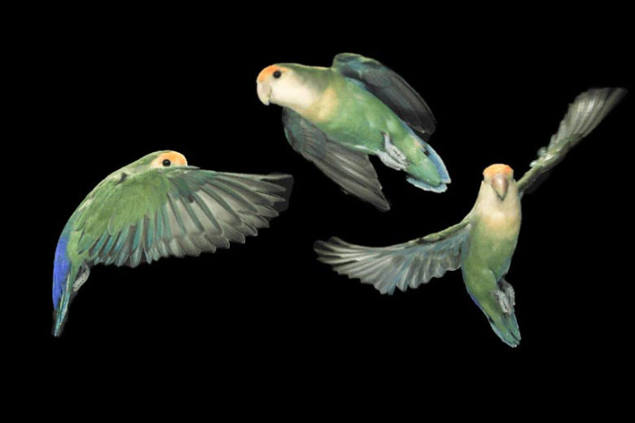 Lovebirds in flight
