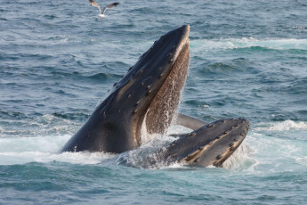 humpback whale opening its mouth / Jordan Tan/Shutterstock