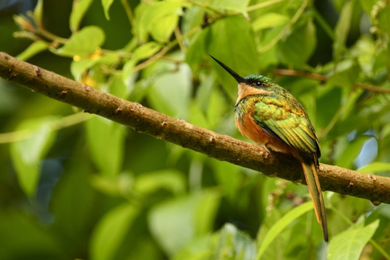 rufous-tailed jacamar bird native to Costa Rica perched on a branch with dense leaves in background