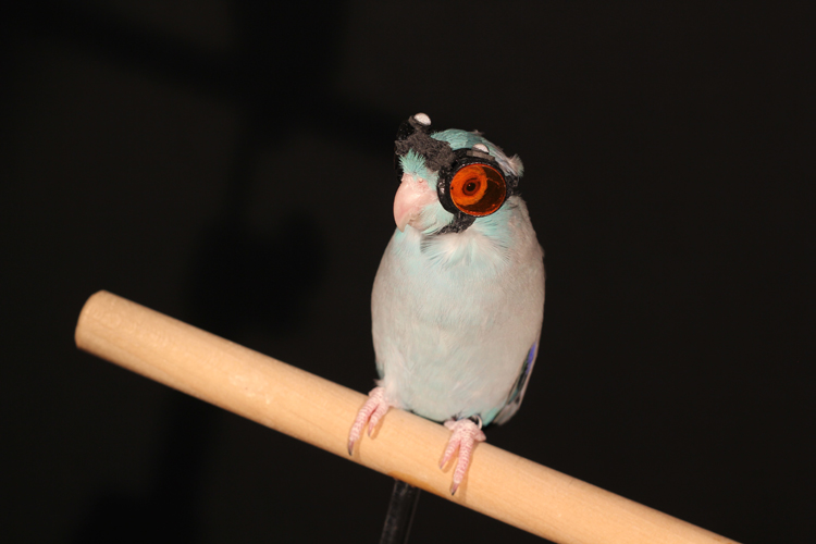Obi the parrotlet wearing protective goggles.