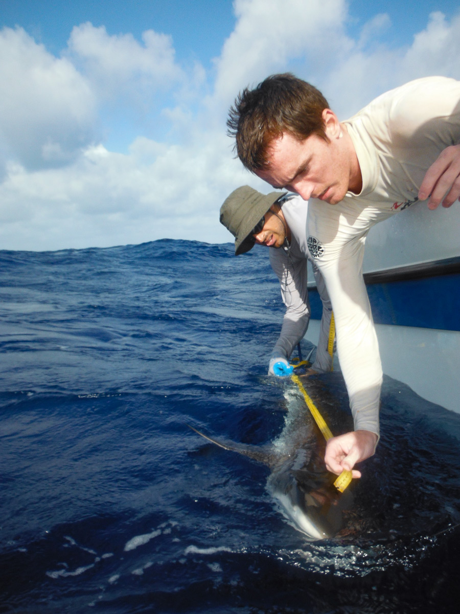 researchers hanging over edge of boat with a tape measure to record length of a grey reef shark