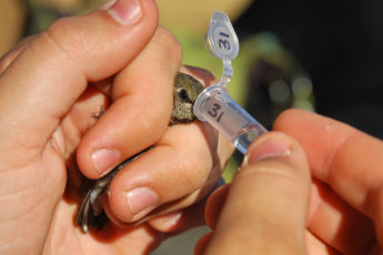 Researcher obtaining a microbe sample from a hummingbird