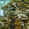 nurse shark in a coral reef