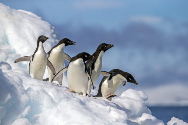 Penguins in the Antarctic
