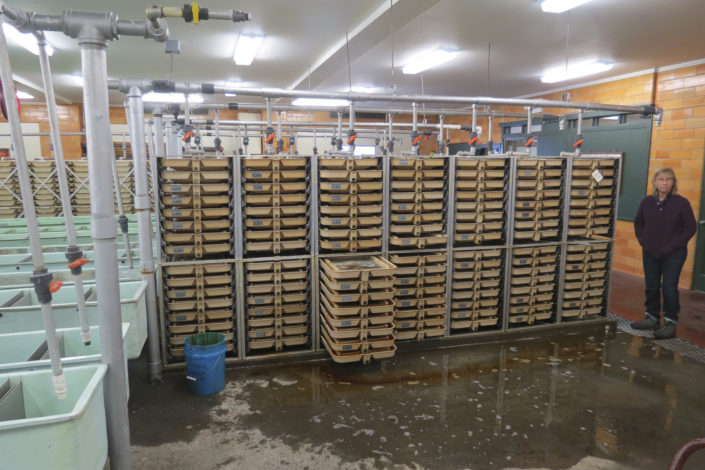A fish hatchery with racks of fish)