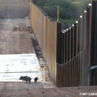 A family of javelinas encounters the wall on the U.S.-Mexico border near the San Pedro River in southeastern Arizona.