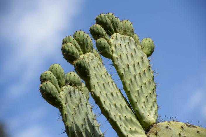 Prickly pear cactus)