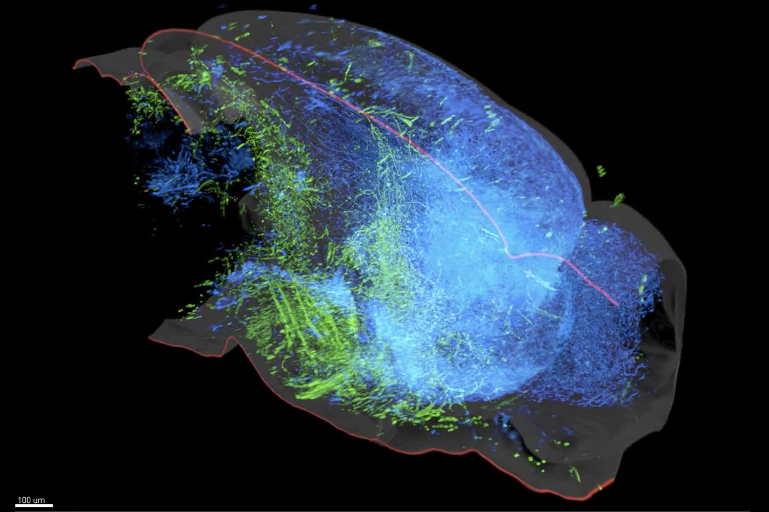 A 3D rendering of the serotonin system in the mouse brain