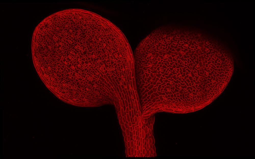 Arabidopsis thaliana seedling