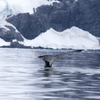humpback whale diving in the Antarctic