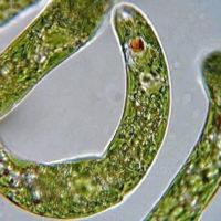Euglena microbes
