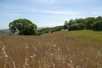 Foothills covered in grasses at Jasper Ridge Biological Preserve