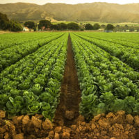 Irrigated fields in Salinas Valley, Calif.