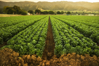 Irrigated fields in Salinas Valley, Calif.