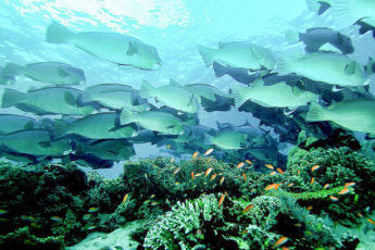 A school of bumphead parrotfish swimming over a coral reef