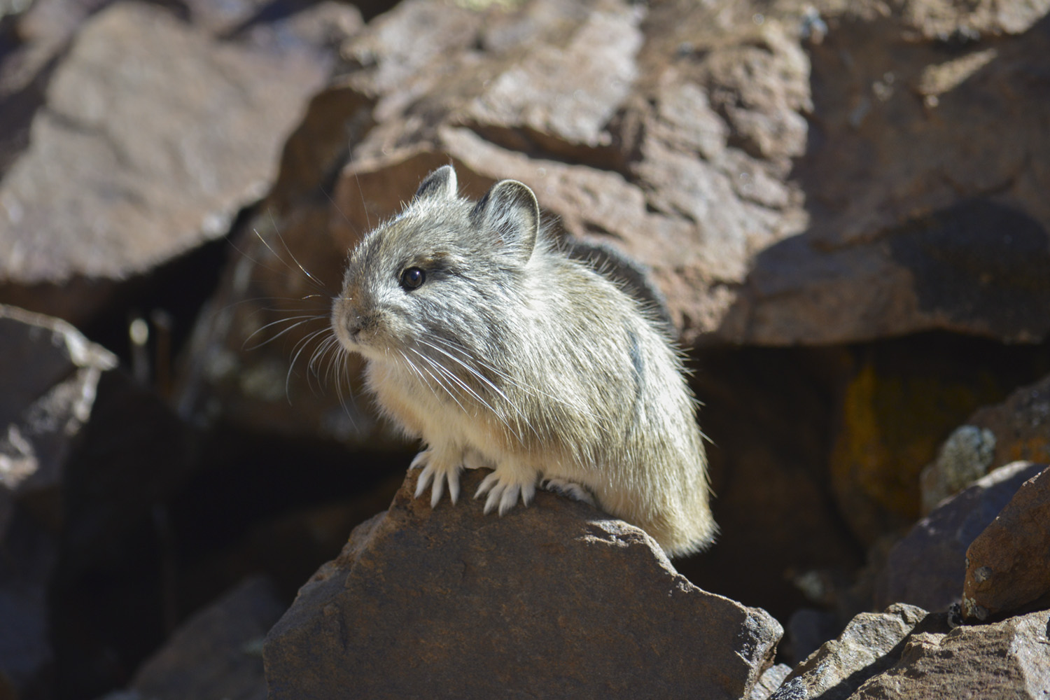closeup of a pika in a rocky environment