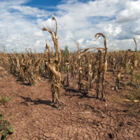 Dying crops