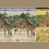 Three versions of an image of giraffes. Given the image on the left, two study participants made the reconstruction on the right. People preferred their reconstruction to the image at the center, a highly compressed version of the original with a file size equal to the amount of data the participants used to make their reconstruction.
