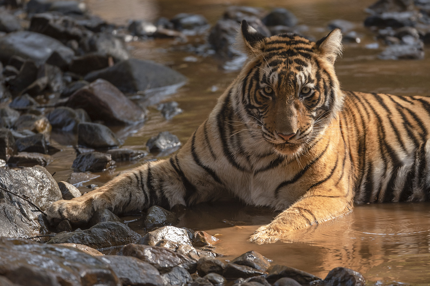 A wild tiger in Ranthambore Tiger Reserve, India.