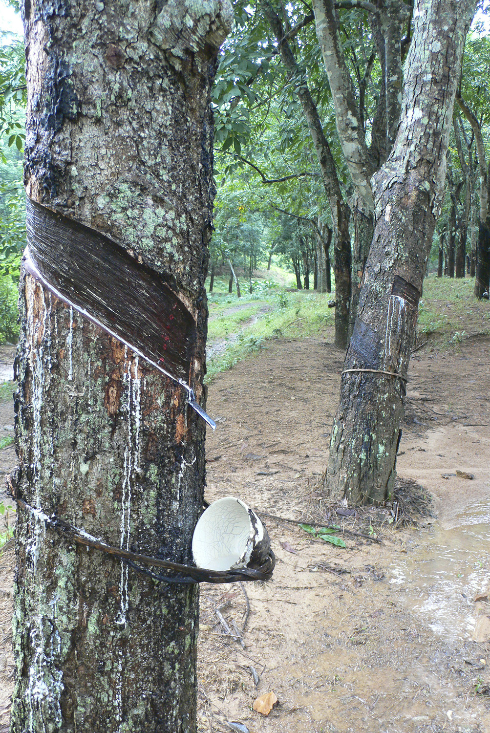 A rubber tree in a monoculture plantation in Hainan, China.
