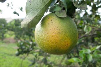 Infected orange citrus