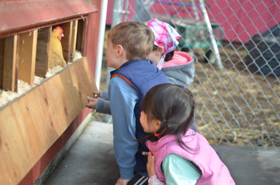 Elementary school students in Palo Alto, California, check for eggs at their school farm.