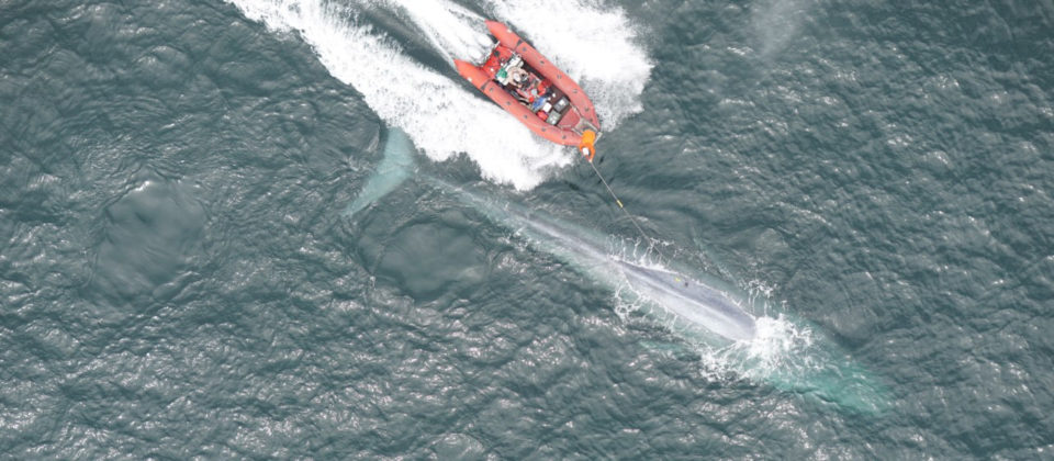 Small boat next to a blue whale with a person on the boat using a pole to apply the suction-cup tag
