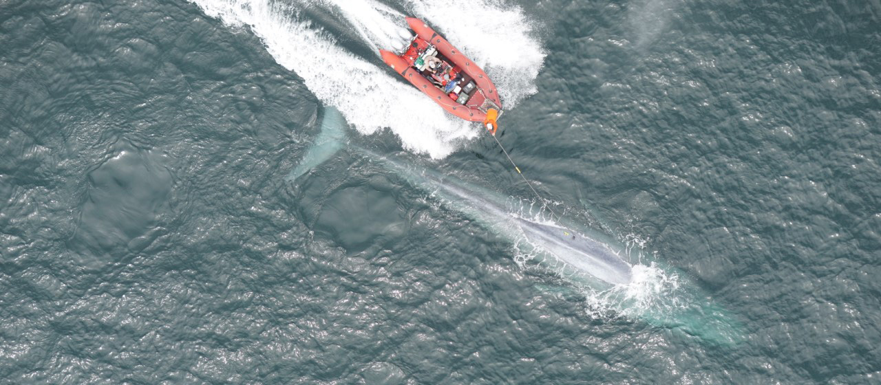 A red/orange rubber boat follows a blue whale