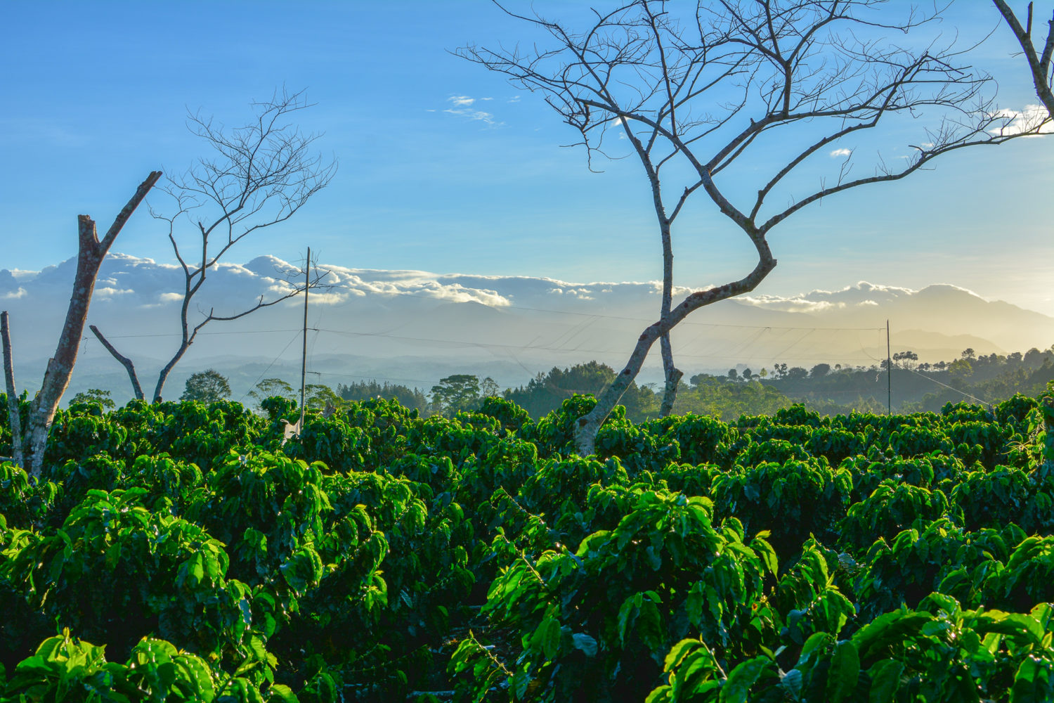 Coffee plants sit on the ground directly in sunlight, with a blue sky in the background