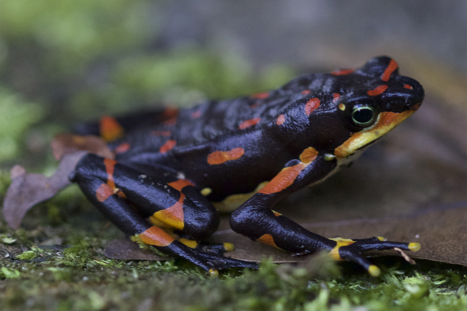 A black and orange frog sits on green moss