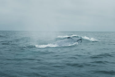 Blue whale surfacing in the ocean