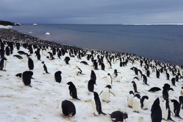 A large number of penguins on snow near water