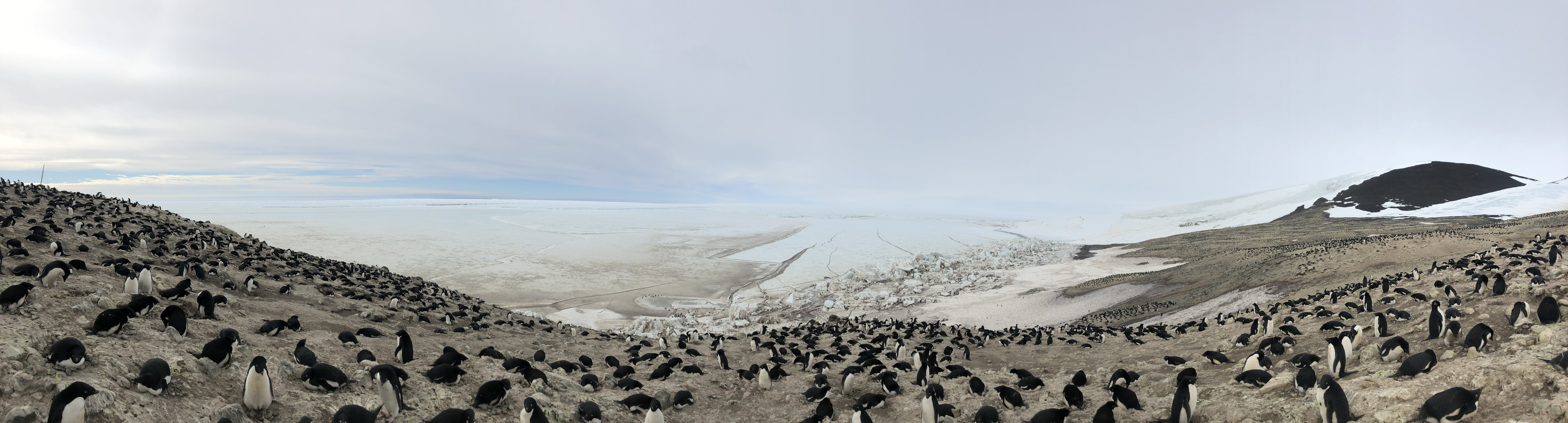 Panorama of penguin colony showing dozens of penguins on slightly hilly terrain