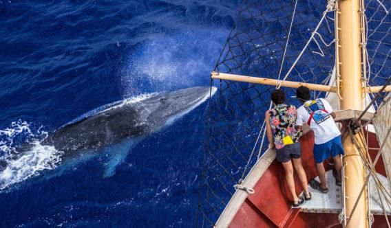 A juvenile Minke whale by Hanna Payne